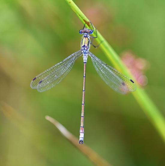 bigNature - Dragonfly